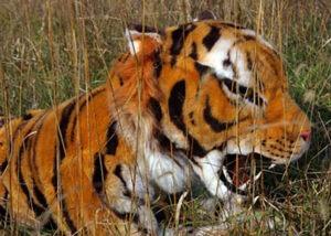 stunt tiger suit