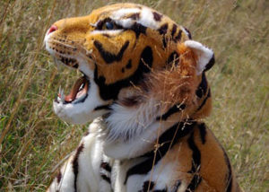 stunt tiger costume