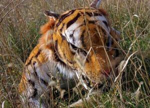 bengal tiger puppet