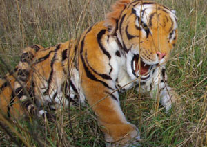 bengal tiger costume