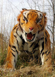 bengal tiger suit